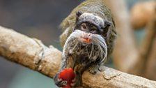 An Emperor Tamarin monkey