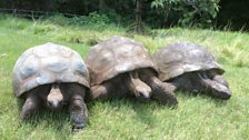Three of the Governor's tortoises, Jonathan on the right
