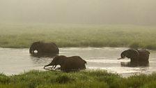 Forest elephant bath