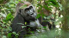 A glimpse of a gorilla