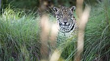 Jaguar through long grass