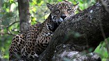 Jaguar lookout