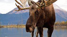 Bull moose in North America