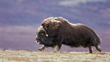 Running muskox