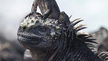 Marine iguana hatchling and adult