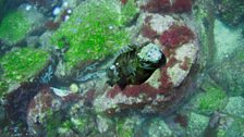 Marine iguana surfacing after feeding