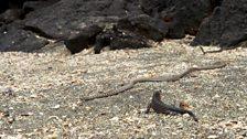 Hatchling marine iguana and racer snake