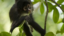 Young spider monkey feeding on fresh leaves.