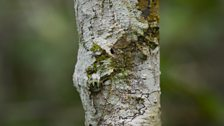 The leaf tailed gecko is coloured and textured to mimic the bark of a tree.