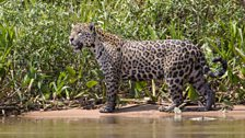 A jaguar patrols the banks of the jungle looking for prey.
