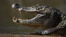 Black caiman are the largest crocodilians living in South America.