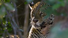 A jaguar resting in the shade of the riverbank - but always alert for prey that might come past.