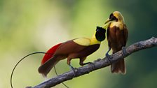 Male red bird of paradise tries to impress a choosy female!