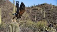 Harris hawks can be found throughout much of the Americas
