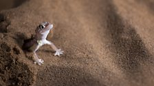 Palmato geckos have webbed-feet so that they can more easily move across the surface of the sand.
