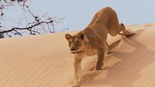 A lioness stalks her prey