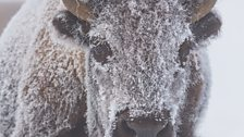 A young bison is covered in frost when temperatures drop to -40C.