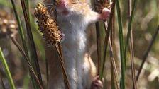 A female harvest mouse climbs through grass blades.