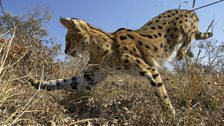 A serval cat leaps three metres through the air to attack her rodent prey from above.