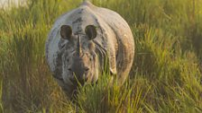 A one-horned Asian rhino emerges from the tall gras.