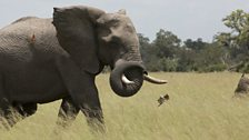 An African bull elephant swishes his trunk at the carmine bee-eaters following him through the grassland.