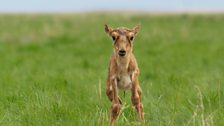 A rarely seen baby saiga antelope, only a few hours old, takes his first steps.