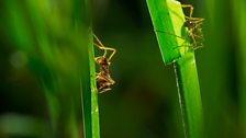 Grass-cutter ants harvest more grass than all other local herbivores combined.