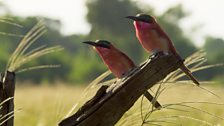 A pair of carmine bee-eaters in search insect prey.