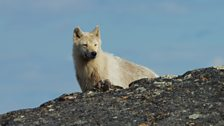 A snow-white Arctic wolf hunts for caribou.