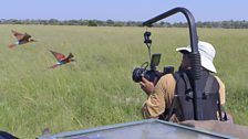 Cameraman Brad Bestelink films carmine bee-eaters while strapped into a safety harness on the front of a 4-wheel drive.