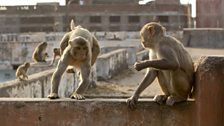 Rhesus macaques make a living raiding the fruit and veg markets in the city.