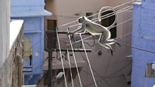 Hanuman langurs have swapped treetops for rooftops and they show incredible parkour skills moving around the city.