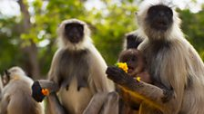 Treated as religious deities Hanuman langurs are given all the food they can eat, and this has led to a baby boom.