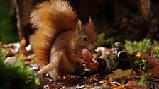 Red squirrels will eat mushrooms and toadstools like the fly agaric.