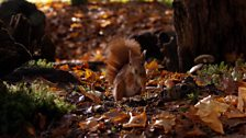 To help cope with times of food shortage, red squirrels will often store surplus mushrooms and toadstools in tree branches.