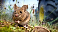 To help navigate their way through their home ranges, field mice will use small bright objects such as leaves as signposts.