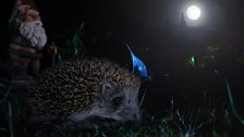 As many as 5,000 spines help protect hedgehogs as they travel up to two kilometres each night foraging.