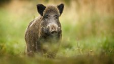 Adult male boar can weigh over 100 kg and are armed with sharp tusks that can be up to 10 cm in length.