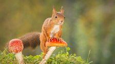 Red squirrel on a fly agaric mushroom.