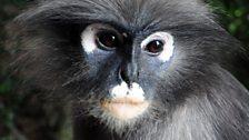 Phayre's langur/ leaf monkey