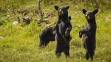 Mexico's black bears (Ursus americanus)
