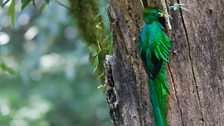 A Resplendent quetzal (Pharomachrus mocinno) male at its nest cavity.