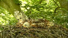 Sleepy chicks in the red kite nest