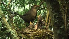 The blackbirds look forward to feeding time