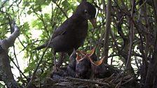Another shot from the blackbird nest...