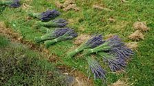 The lavender is cut