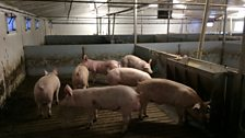 Pigs on a slatted flooring system