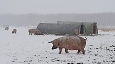 Outdoor pigs in the snow from the 'Beast from the East'