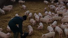 Kate Morgan filming pigs on straw for BBC Look North