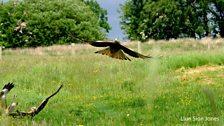 Y Barcud Coch yn Rhaeadr, Powys